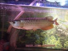 tropical arowana fish
