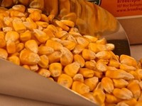 best animal feed yellow corn