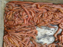 Lugworm, , Worms, Sandworm, Ragworms, Lugworms Fishing