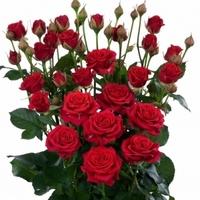 Red Spray Rose Rubicon