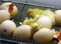 Best Breed Hatching eggs Cobb 500 and Ross 308