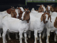 Boer Goats, Holstein heifers, Cows, Camels, Sheeps, Horse,Boer Goats for Sale