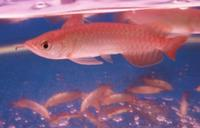 Chili Red, Super Red, Asian red and RTG arowana fishes.