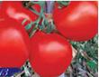 Lycopene from Tomato P.E
