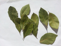 Dried Bay Leaf Production/Laurel Leaves (Bay Leaves) Wholesale