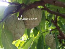 Professional Supply Fresh Custard Apple Fruit