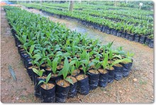 High Quality Rubber Tree / Pokok Getah in Malaysia