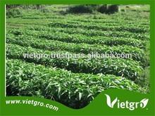 Alto rendimiento Kang kong ( espinaca de agua ) semillas para creciente VGKK024