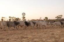 Beef Livestock and Frozen Meat Export