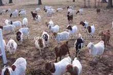 Live Boer Goats For Sale