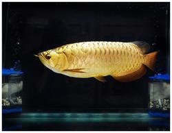 24k Golden Arowana Fish Available From Thailand