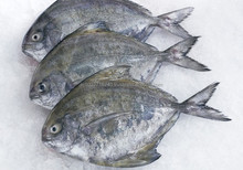 fresh Chilled White Pomfret, Black Pomfret, Grouper, Snapper