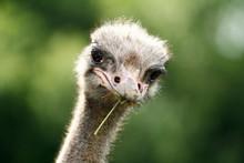 Carne de avestruz / avestruz óleo puro / pele de avestruz