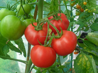 Indian Agricultural Tomato