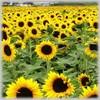 /p-detail/Barato-de-aceite-de-girasol-precio-competitivo-400001822351.html