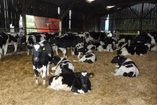 Live Dairy Cows and Pregnant Holstein Heifers Cow for Sale
