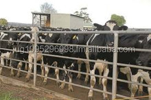 We supply Live Dairy Holstein Cow