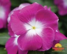 """F1 Vinca Seed - """"Ameriseed Mega Bloom Orchid Halo"""""""