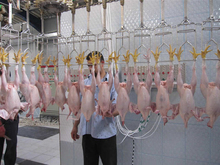 Grade A and B Halal Frozen Whole Chicken and Parts / Gizzards / Thighs / Feet / Paws / Drumsticks- BRAZIL ORIGIN..