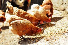 poultry farms chicken feed maize yellow corn meal