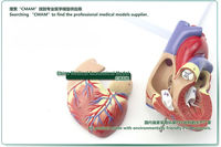 cmam] человека взрослого сердца Анатомия модель, размер полной жизни, 2 частей, Анатомия модели настроек сердце модели