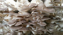 Paddy Mushrooms, Oyster Mushrooms