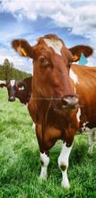 Probiotics for profitable dairy farming