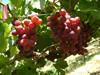 fresh fruits egyptian grapes