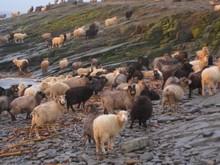 100% Full Blood Boer Goats,live Sheep, Cattle, Lambs