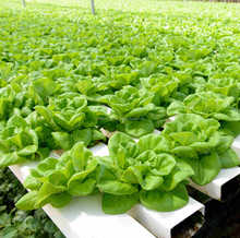 Soil Microbes for Best Hydroponic produce