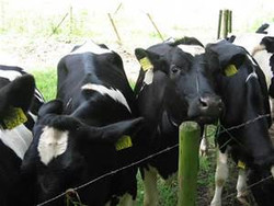 Live Friesian Holstein Cow and Boar Goat for sale do skype us at..... hussienhas