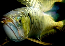 4 inches to 30 inches Arowana Fishes in Gold, Platinum , Red and Blue Colors