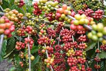 Natural growth Regulator for Coffee Plantation