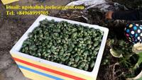 FRESH BETEL NUT ( ngohalinh.joelie(at)gmail.com, WhatsApp: 84968999205)
