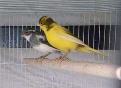 Live Yorkshire Canary birds, Finches, Lovebirds, Lancashire Canary