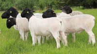 High Quality Dorper sheep for sale