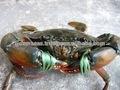 /cangrejo cangrejo fresco/de mar fresca de cangrejo/fresca de cangrejo azul/indio mar cangrejo azul/congelado cangrejo