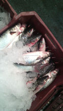 fresh fish from Egypt Shipping by Air silver Mullet , Tilapia , Bream , Seabass , Oysters , Nile perch