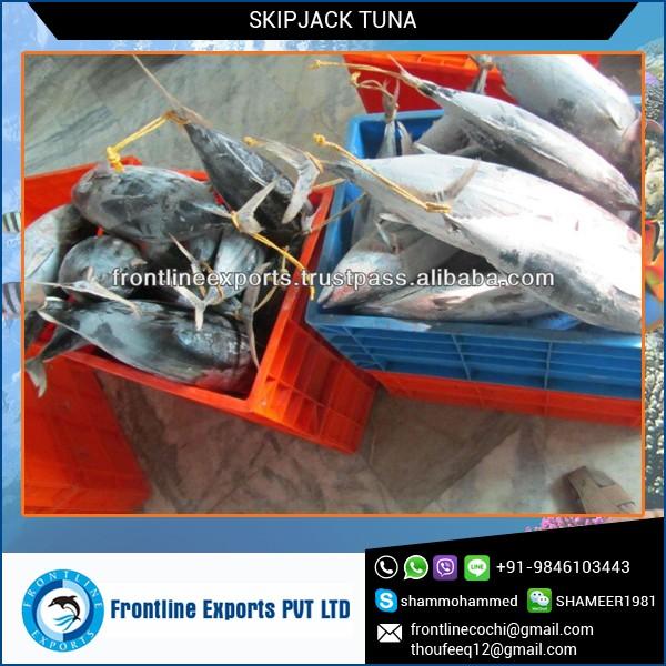 Замороженные бонито полосатого тунец с высокое качество в лучшем случае цена