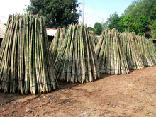 Bamboo raw materials - Natural Tam Vong bamboo pole solid / Cane - Dry bamboo Decor, Builders & Architectural material Suppliers