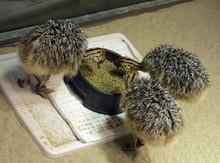 Ostrich Chicks , Fertile Eggs, Shells And Feeds