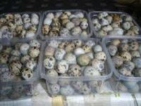 Fresh fertile quail eggs