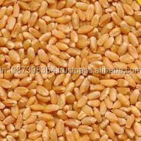 Export Quality Sharbati Wheat