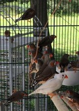 Zebra Finches,Lady Gouldian Finches,Live Canary Birds