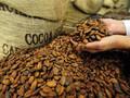 2015 cacao tostado frijoles/cacao/arábica/robusta/uso en seco en la producción de cacao en polvo