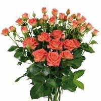 Orange Spray Rose Charming babe