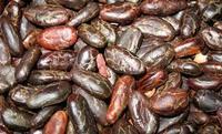 Criollo cocoa bean