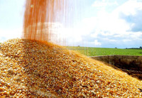 certified organic yellow corn maize