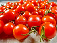 Top Quality Best Fresh tomatoes