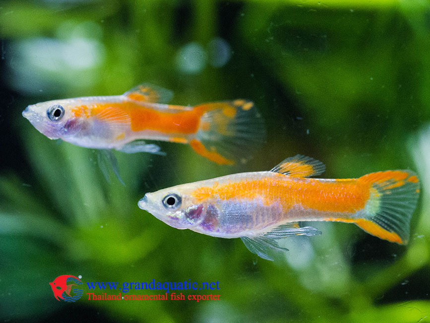 endler guppy fish guppy fish for sale buy fancy